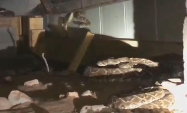 Kinh hoàng phát hiện 45 con rắn chuông cực độc ẩn nấp dưới sàn nhà