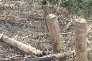 Vụ Phó chủ tịch xã chặt phá rừng: Công an vào cuộc điều tra