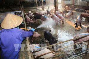 Xuất hiện thêm ổ dịch tả lợn châu Phi tại Thừa Thiên - Huế