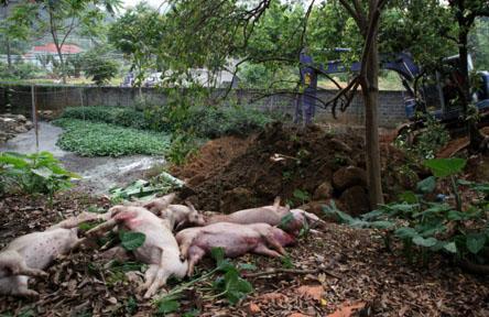 Lai Châu: Đẩy mạnh ứng phó dịch tả lợn châu Phi