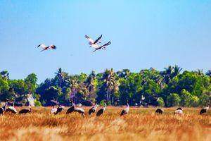 Kiên Giang: Ngất ngây cảnh Sếu đầu đỏ về đồng cỏ bàng săn mồi