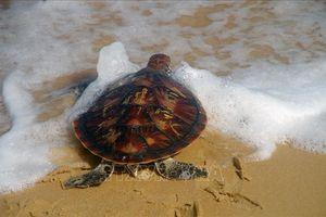 Thả 80 con rùa quý hiếm về môi trường tự nhiên