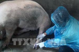 Xuất hiện ổ dịch lở mồm long móng trên lợn tại Cà Mau