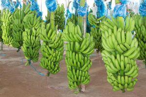 THACO xuất khẩu lô hàng chuối đầu tiên, trị giá gần 500.000 USD