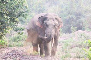 Loay hoay tìm cách 'sống chung' với... bầy voi ham phá rẫy ở Đồng Nai