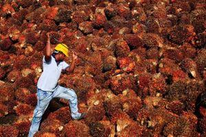 Indonesia cho phép doanh nghiệp dầu cọ khởi kiện EU