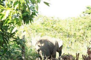Dân khốn khổ vì bị voi rừng nghịch phá