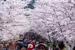 Trung Quốc: Chiêm ngưỡng hoa anh đào nở rộ