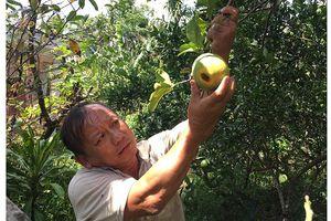 Nông dân Bến Tre thất thu do sâu đục quả bưởi gây hại