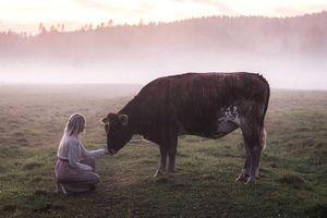 Kỳ diệu bài hát gọi bò của người du mục Thụy Điển