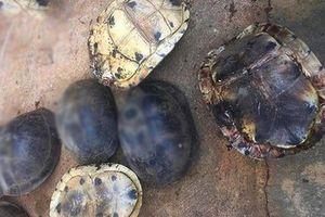 Kon Tum: Nhiều cá thể rùa quý hiếm được thả về rừng Vườn Quốc gia Chư Mom Ray