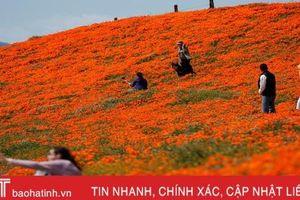 Hoa poppy vẽ màu cam rực rỡ lên khắp thung lũng Mỹ