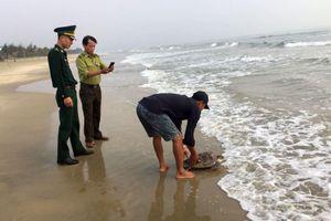 Thừa Thiên Huế: Thả cá thể rùa biển nằm trong Sách đỏ về tự nhiên