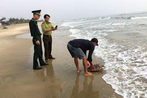 Liên tục xuất hiện rùa biển quý ở vùng biển Chân Mây - Lăng Cô