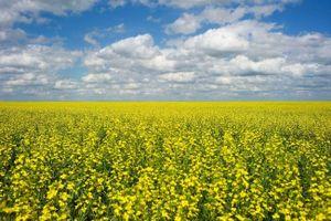 Canada đau đầu vì Trung Quốc cấm cửa hạt cải dầu