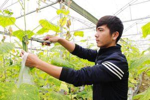CLIP: Chàng trai xứ Nghệ thu nhập tiền tỷ từ dưa lưới và rau quả sạch