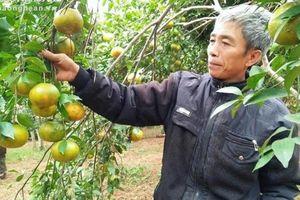 Bảo tồn vườn cam giống đầu dòng quý hiếm Bù Sen