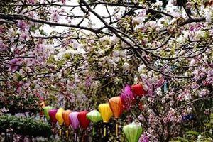 Lễ hội hoa anh đào Nhật Bản – Hà Nội 2019 thu hút gần 1 triệu người đến tham quan