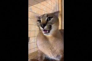 Nàng mèo rừng châu Phi bỗng dưng nổi tiếng nhờ đôi tai biết… nhảy