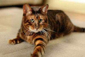 Cách loài mèo 'xâm chiếm' hành tinh của con người