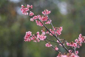Lễ hội hoa anh đào: Đến ngày thứ 3, hoa vẫn tươi, an ninh được đảm bảo