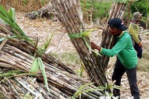 Mía đường: Mùa ngọt thành nỗi khổ của nông dân
