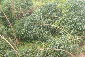 Mưa lớn, lốc xoáy giữa trưa cuốn phăng 500ha cây nông nghiệp ở Quảng Nam