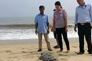 Liên tiếp phát hiện rùa quý hiếm trong Sách đỏ lạc vào bãi biển