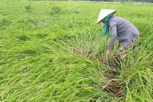 Mưa lớn kèm lốc xoáy băm nát 200 ha lúa của nông dân Quảng Nam