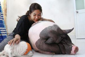 9X nuôi heo nặng gần 150 kg, chăm sóc nuông chiều thay thú cưng