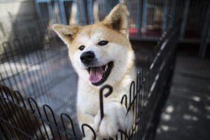 Nhật khen thưởng chú chó Akita cứu mạng bà lão