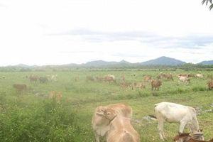Bình Định: Suýt giao Cty Bình Hà hơn 5.000ha đất nuôi bò