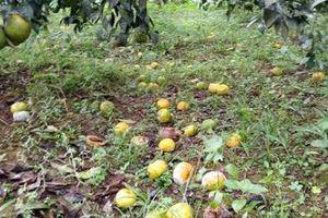 Quýt chín sắp rụng vàng vườn: Bán cũng dở mà không bán cũng 'chết'