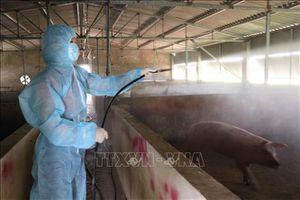 Các địa phương xử lý triệt để ổ dịch tả lợn châu Phi