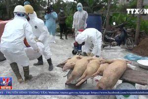 Dịch tả lợn châu Phi lan rộng tại Nam Định