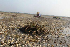 Thanh Hóa: Ngư dân lao đao vì ngao chết trắng bãi bất thường