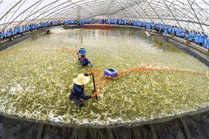 Siêu lợi nhuận của công ty tôm giống Việt Úc