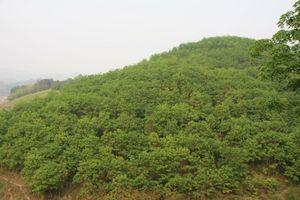 Nhọc nhằn dưới những tán rừng 'triệu đô' - Bài 1: Có cây sinh kế, vẫn phải đi làm mướn kiếm ăn
