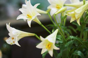 Mùa hoa loa kèn gọi tháng Tư vào phố