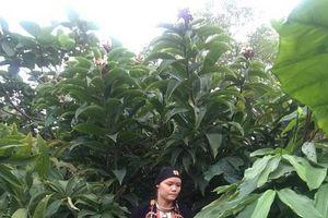 Khỏi bệnh tiểu đường nhờ 'kỳ hoa dị thảo' trên đỉnh Tản Viên Sơn