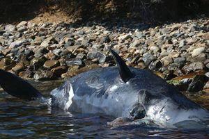 Phát hiện gây sốc trong bụng xác cá voi mang thai dài 8 m trôi dạt vào bờ biển