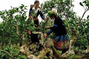 Chuyện về rừng chè cổ thụ với những cây chè có đường kính hơn 1m ở Yên Bái
