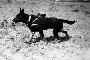 Các loài động vật bạo dạn tham gia chiến đấu trong Thế chiến 1