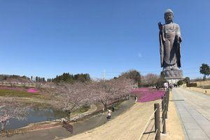 Tượng Phật bằng đồng cao kỷ lục và hoa anh đào