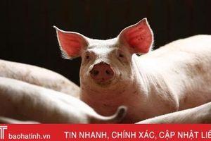 Phát hiện ổ dịch tả lợn châu Phi đầu tiên tại Campuchia