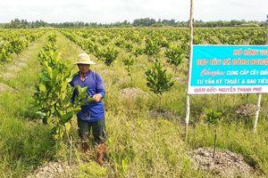 Nông dân Vĩnh Long tăng nhanh diện tích trồng mít siêu sớm