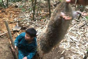 Kỹ năng kỳ công khó tưởng bắt chuột khổng lồ rừng Yên Tử