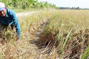 Thừa Thiên Huế: Nắng hạn kéo dài, hàng trăm hecta lúa 'chết khát'