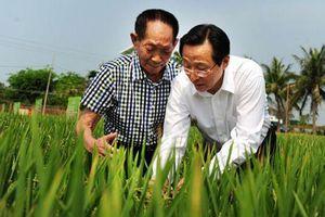 Trung Quốc: Phát triển thêm giống lúa mới với năng suất cao, kháng bệnh