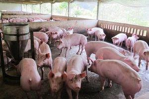 Dịch tả lợn châu Phi lùi dần, 3 tỉnh công bố hết dịch